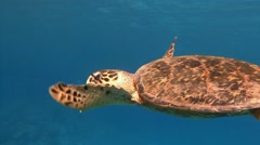 Great diving with hawksbill turtles in the Red sea near Egypt Stock Footage
