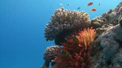 Symbiosis of clown fish and anemones the Red sea near Egypt Stock Footage