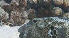 Very slow fish arothron Stock Footage
