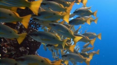 A flock of colorful fish snappers. Stock Footage