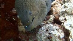Angry giant Moray eel. - stock footage