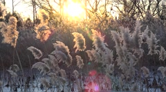 Miscanthus sinensis (Chinese silver grass) with the frozen lake at sunset Stock Footage