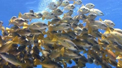 A colorful flock of fish snappers. Stock Footage