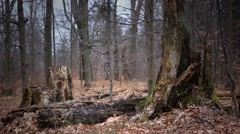 Old forest in Bieszczady Mountains. Stock Footage
