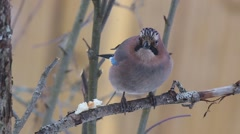 Eurasian jay (Garrulus glandarius) is sitting on a branch close-up - stock footage
