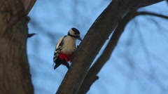 Great spotted woodpecker (Dendrocopos major) knocking on wood - stock footage