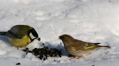 Bird European greenfinch (Chloris chloris) quarrels with Great Tit for seeds Stock Footage