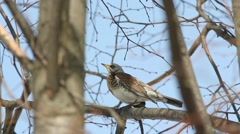 Thrush Fieldfare (Turdus pilaris) sitting on a branch - stock footage
