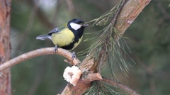 Eurasian blue tit and Great tit are jumping on the branch of a pine Stock Footage