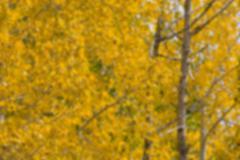 Blurred Aspen trees Stock Photos