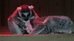 Lemurs close up at sunset Stock Footage