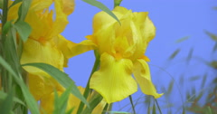 Yellow Irises Wild Flowers on a Blue Screen Flowers Grow on a Flowerbed Green Stock Footage
