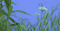 Field Grass and Umbelliferae Narrow Long Leaves Plants on a Lawn or Flowered on Stock Footage