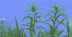 Stalks of Field Grass Wild Small Flowers Plants on a Lawn or Flowered on Blue Stock Footage