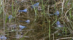 Blue colored males of Moor frogs in a pond Stock Footage