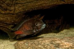 Cichlid fish in a aquarium Stock Photos