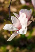Magnolia flowers on a blurry background Stock Photos