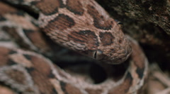 Saw scaled viper (Echis carinatus) tongue flicking Rec709 Stock Footage