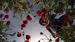 A nature lover takes a picture of poppy flowers with his smartphone Stock Footage