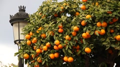 Orange tree in Estepona, Andalusia, fruit - stock footage