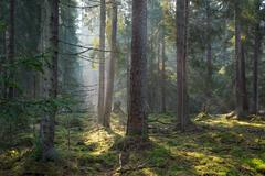 Sunbeam entering coniferous stand in misty morning,BIalowieza Forest,Poland,E - stock photo
