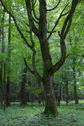 Old monumental Hornbeam Tree(Carpinus betulus) in front of juvenile deciduous - stock photo