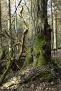 Old linden tree trunk in spring Stock Photos