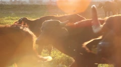Big herd of buffalo Stock Footage