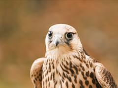 Portrait of saker falcon - stock photo