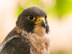 Portrait of peregrine falcon - stock photo