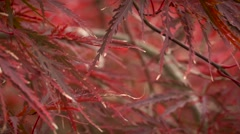 Beautiful red autumn leafs. Red leafs - stock footage