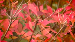 Bright beautiful Red autumn leafs. Stock Footage