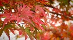 Autumn leaves. Red seasonal leafs Stock Footage