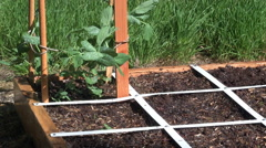 Pea Plant In Backyard Garden Being Watered Stock Footage