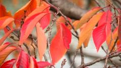 Autumn Leaves. Red foliage tree leaves. Autumn season leafs. Stock Footage