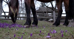 Chestnut Horse Grazing in a Field of Crocus Stock Footage