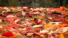 Red autumn leaves fallen to the ground. Season change leafs Stock Footage