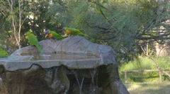Lorikeet birds in bird bath Stock Footage