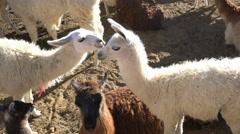 Cute baby Alpacas in Bolivia Stock Footage