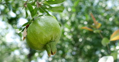 Close-up of unripe pomegranate hanging on branch - stock footage