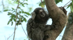 Marmoset monkey's close up on a branch in natural habitat. Stock Footage