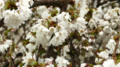 Close-up cherry flowers in spring after rain Stock Footage