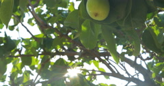 Hand Picking Pear from the Tree Stock Footage