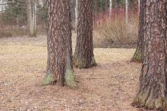 Park early spring the trunks of larch landscape - stock photo