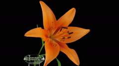 Stock Video Footage of Time-lapse of opening orange lily, in RGB + ALPHA matte format