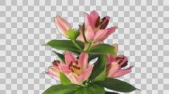 Time-lapse of opening pink lily with ALPHA channel Stock Footage