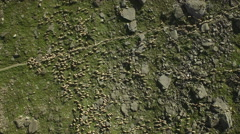 Huge flock of sheep grazing in mountain landscape. Stock Footage