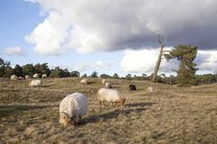 Flock of sheep on the moor near Zeist and utrecht in the netherlands Stock Photos