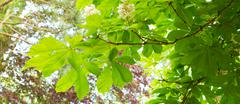 Green chestnut eaves and bright sun. Stock Photos