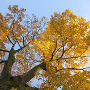 vibrant autumn colors of oak tree fall leaves against blue sky lit by sun - stock photo